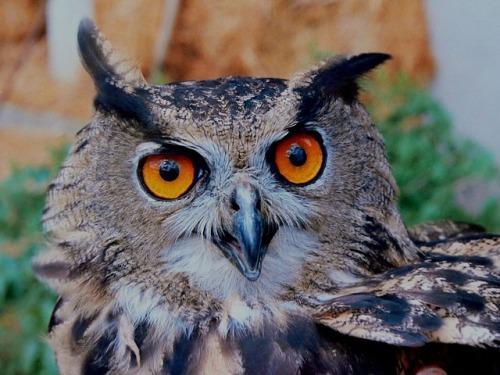 owl-14918_640